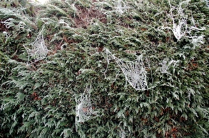 spiderwebfrosty