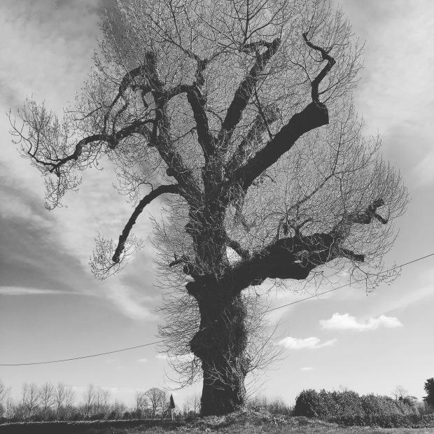Image of black poplar tree, home to corvids.